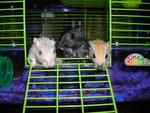 Three gerbils